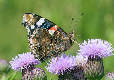 Vanessa Wall Art - Photograph - Red Admiral Butterfly by John Devries/science Photo Library
