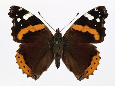 Vanessa Wall Art - Photograph - Red Admiral Butterfly by Natural History Museum, London/science Photo Library