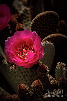 Photograph - Red Beavertail Cactus by Robert Bales