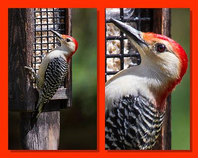 Photograph - Red-bellied Woodpecker by Robert L Jackson