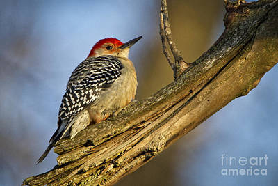 Photograph - Red-bellied Woodpecker by Ronald Lutz
