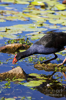 Red Billed Coot Art Print