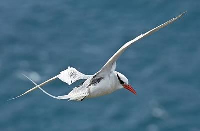 Bird In Flight Photograph - Red-billed Tropicbird In Flight by Bob Gibbons
