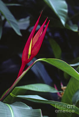 Photograph - Red Bird Of Paradise by Craig Lovell