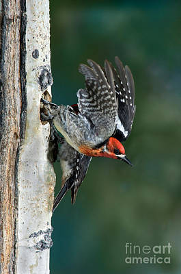 Sapsucker Wall Art - Photograph - Red-breasted Sapsucker by Anthony Mercieca