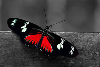 Fly Photograph - Red Butterfly by Sumit Mehndiratta