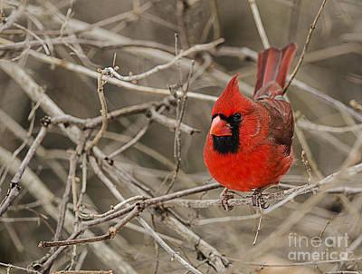 Photograph - Red Cardinal by JT Lewis