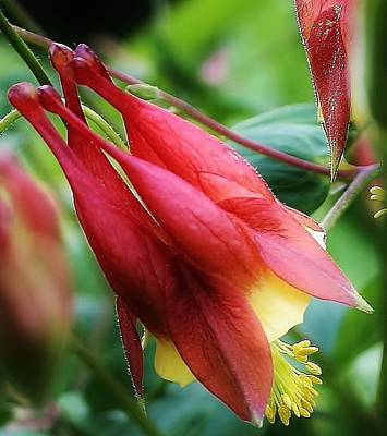 Photograph - Red Columbine by Bruce Bley