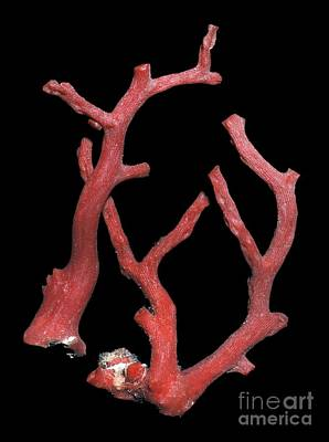 Marine Jewelry Photograph - Red Coral by Dirk Wiersma