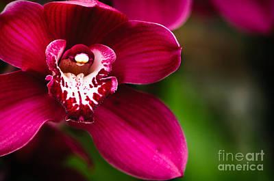 Garden Photograph - Red Cymbidium Orchid  by Oscar Gutierrez