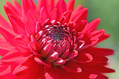Photograph - Red Dahlia Flower by Jennie Marie Schell