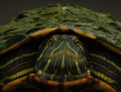 Slider Photograph - Red-eared Slider by Aaron Ansarov