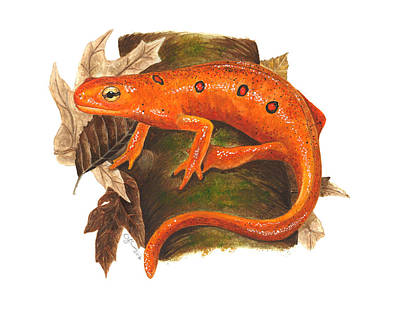 Salamanders Painting - Red Eft by Cindy Hitchcock