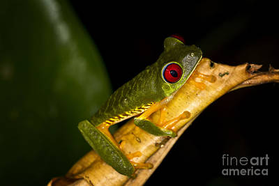 Photograph - Red Eye Tree Frog Costa Rica by Carrie Cranwill