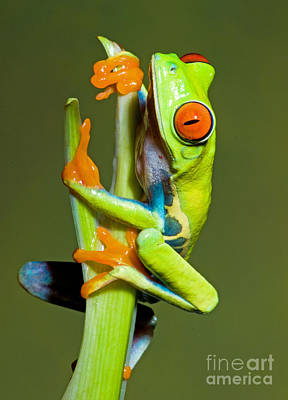 Photograph - Red Eye Tree Frog by Millard H Sharp