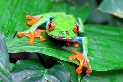 Frog Photograph - Red-eyed Tree Frog (agalychnis by Susan Degginger