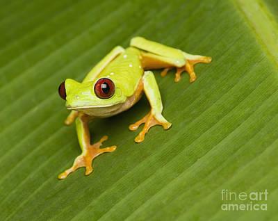 Photograph - Red-eyed Treefrog by Dan Suzio