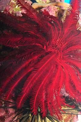 Photograph - Red Feather Star Fish  by Puzzles Shum
