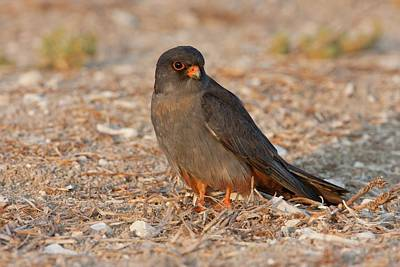 Red Falcon Photograph - Red Footed Falcon (falco Vespertinus) by Photostock-israel