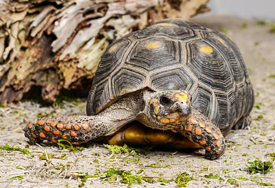 Photograph - Red Footed Tortoise by Les Palenik