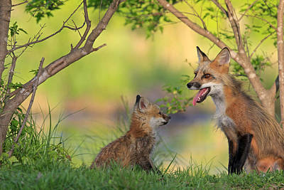 Red Fox And Young Print by M. Watson