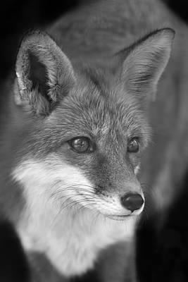 Print featuring the photograph Red Fox  by Brian Cross