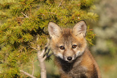 Red Fox Cub Art Print by M. Watson