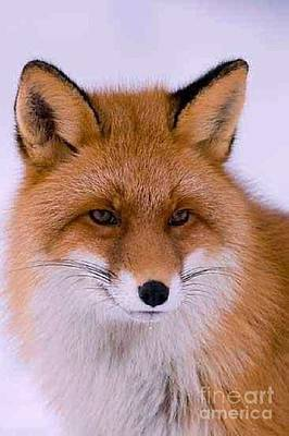 Photograph - Red Fox by Diane Kurtz