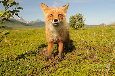 Red Fox Pup Print by William H. Mullins