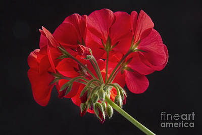 Red Geranium In Progress Print by James BO  Insogna