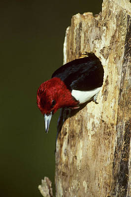 Woodpeckers Photograph - Red-headed Woodpecker (melanerpes by Richard and Susan Day