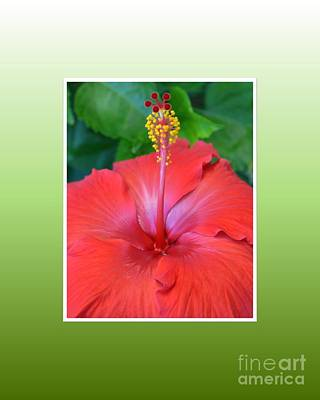 Photograph - Red Hibiscus-v2 by Darla Wood
