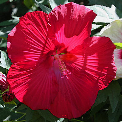 Red Hibiscus Original by Suzanne Gaff