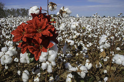 Digital Art - Red In The Cotton  by Michael Thomas