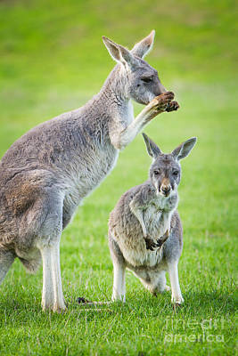 Photograph - Red Kangaroos by Craig Dingle