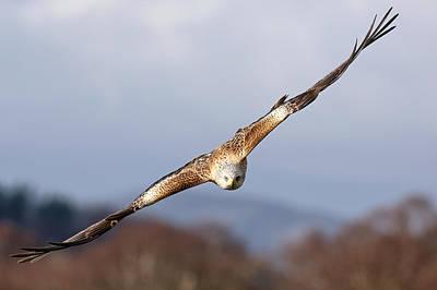 Photograph - Red Kite Soaring by Grant Glendinning