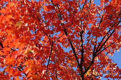 Red Leaves Of Autumn Art Print by David Birchall