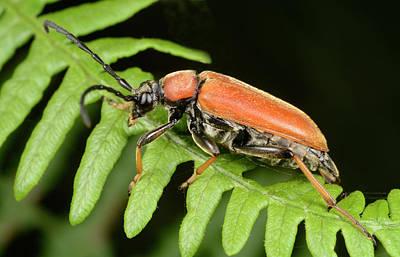 Red Longhorn Beetle Art Print by Nigel Downer
