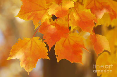 Photograph - Red Maple Acer Rubrum by Maria Mosolova