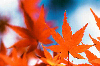 Red Maple Leaves Art Print by Panoramic Images