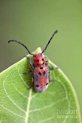 Red Milkweed Beetle Photograph - Red Milkweed Beetle Macro On A Milkweed Leaf by Brandon Alms