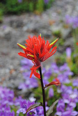 Photograph - Red Paintbrush  by Robert  Moss