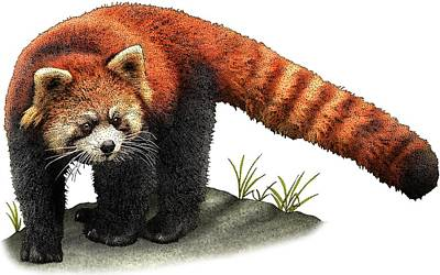 Photograph - Red Panda by Roger Hall