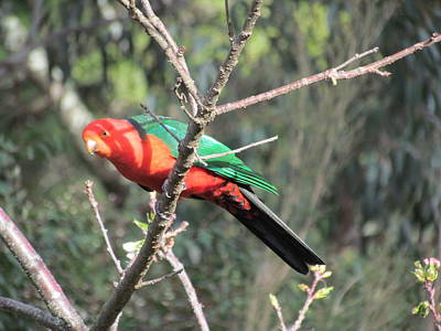 Photograph - Red Parrot by Joyce Woodhouse