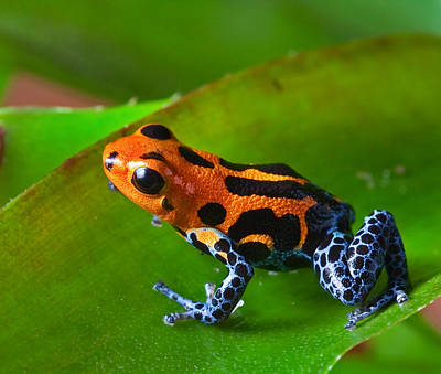Bight Colors Photograph - Red Poison Dart Frog by Dirk Ercken