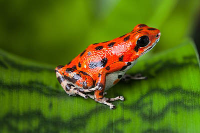 Panama Frog Photograph - Red Poison Frog by Dirk Ercken