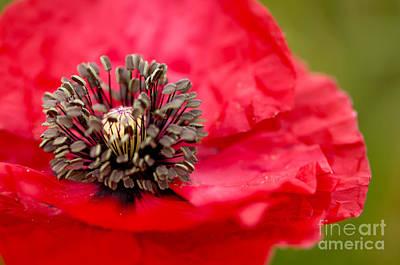 Floral Photograph - Red Poppy by Oscar Gutierrez