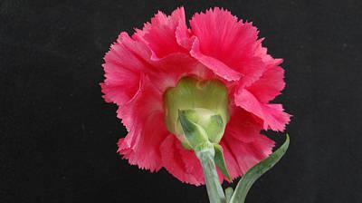 Tall Carnation Original by Dennis Dugan