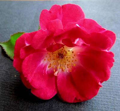 Red Rose Art Print by Joyce Woodhouse