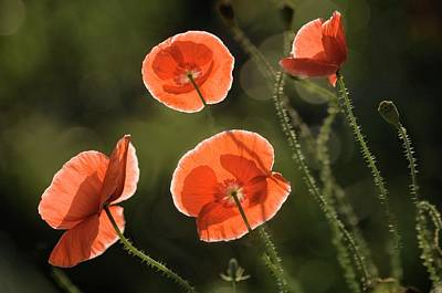 Shirley Photograph - Red Shirley Poppies by Maria Mosolova